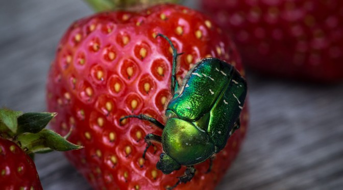 Rosenkäfer und Erdbeeren